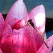 Libelle bei der Landesgartenschau